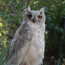 Leucistic Eagle Owl by Jose Faria